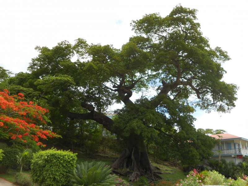 Huge Grenadian tree.