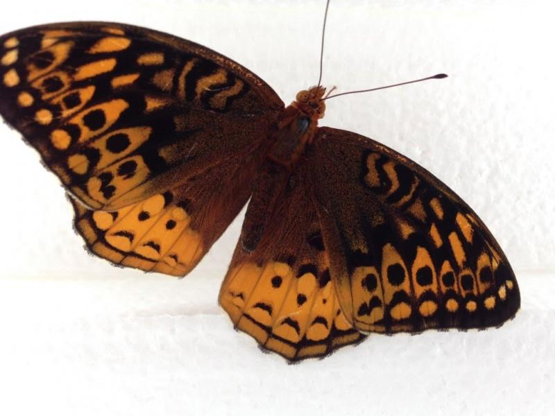 Butterfliy.