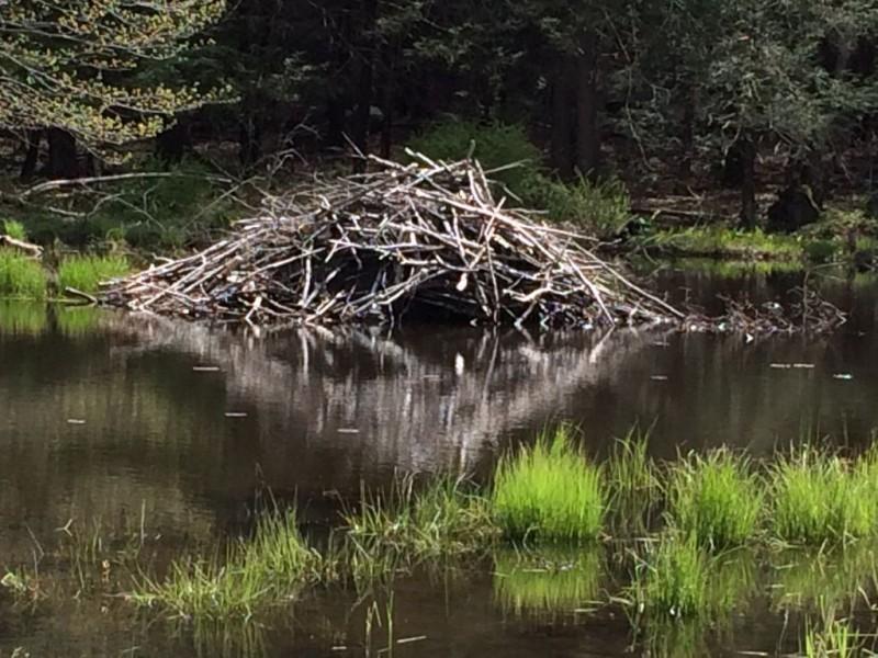 Beaver dam on Old 55